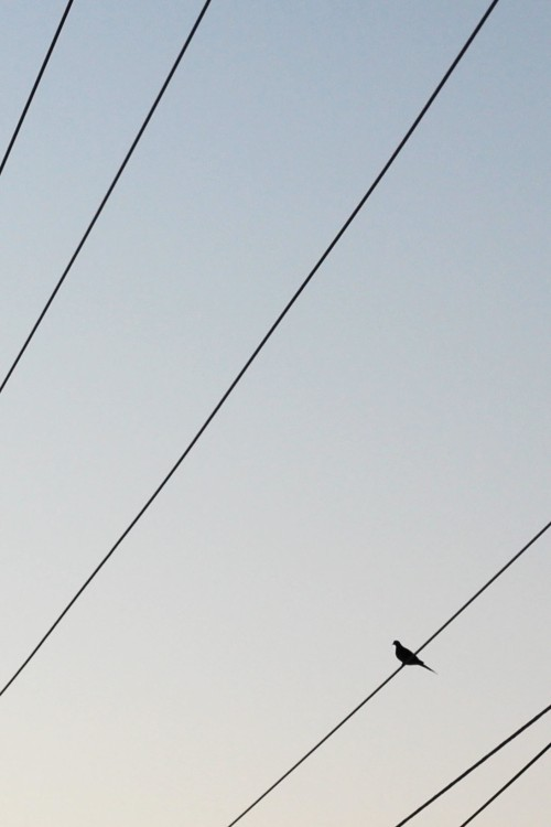 Dove sitting on electrical wires, silhouetted against a pale blue sky.